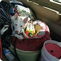 Adopt A Pet :: Teddy Luke Skywalker - Las Vegas, NV