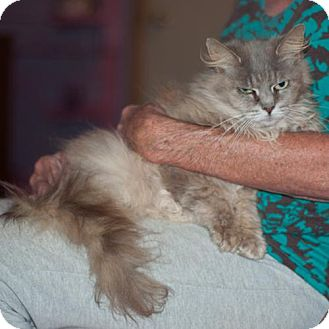 Domestic Longhair Cat for adoption in New Martinsville, West Virginia - Winnie Midora