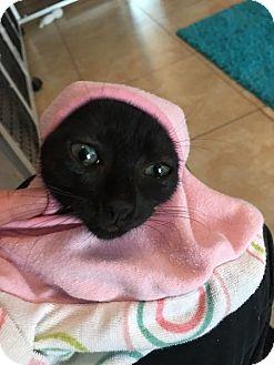 Domestic Shorthair Kitten for adoption in Deerfield Beach, Florida - Lane