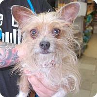 Adopt A Pet :: Kiku - Brooklyn, NY