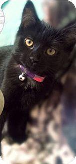Domestic Shorthair Kitten for adoption in Bainsville, Ontario - LUNA