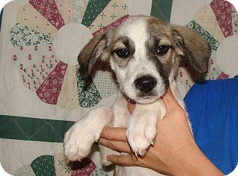 Border Collie/Australian Shepherd Mix Puppy for adoption in Oviedo, Florida - Harlem