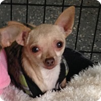 Chihuahua Dog for adoption in Temecula, California - Little Man