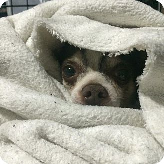 Chihuahua Dog for adoption in Milwaukee, Wisconsin - Chocolate Chip