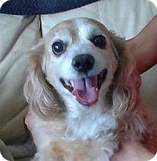 Cocker Spaniel Dog for adoption in Mississauga, Ontario - Chelsea
