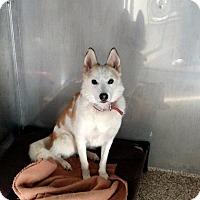 Husky/German Shepherd Dog Mix Dog for adoption in Fremont, Ohio - Diva Doo