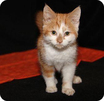 Domestic Shorthair Kitten for adoption in Marietta, Ohio - Sonny (Neutered)