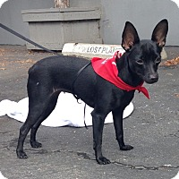 Miniature Pinscher/Chihuahua Mix Dog for adoption in Los Angeles, California - TICA