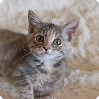Domestic Shorthair Cat for adoption in Indianapolis, Indiana - Fergie