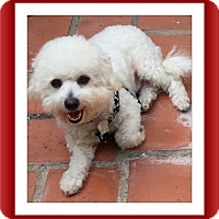 Bichon Frise Dog for adoption in Tulsa, Oklahoma - Adopted!!QTip - S. TX