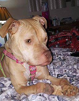 Terrier (Unknown Type, Medium)/Bulldog Mix Dog for adoption in Detroit, Michigan - *AARF* - Apple