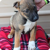 Adopt A Pet :: Jace - Mayflower, AR