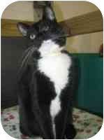 Domestic Shorthair Cat for adoption in Powell, Ohio - Genessa