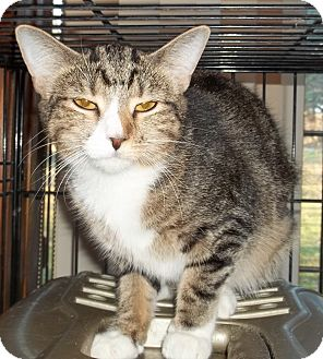 Domestic Shorthair Cat for adoption in Acme, Pennsylvania - Dylan