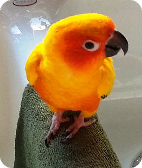 Conure for adoption in Shawnee Mission, Kansas - Skittles