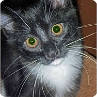 Adopt A Pet :: Pumpernickel - San Ramon, CA