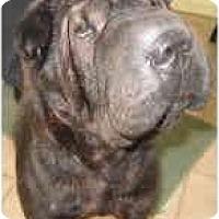 Adopt A Pet :: Sheba - Bethesda, MD