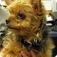 Adopt A Pet :: Yorkie - Ludington, MI