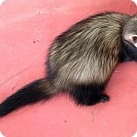 Adopt A Pet :: Ivy - Buxton, ME