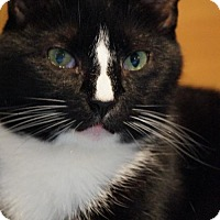 Domestic Shorthair Cat for adoption in Philadelphia, Pennsylvania - Uno