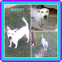 Pit Bull Terrier Mix Dog for adoption in Malvern, Arkansas - GHOST