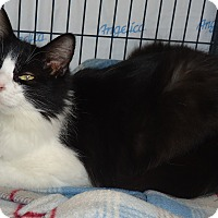 Maine Coon Cat for adoption in Barnwell, South Carolina - Clio