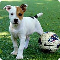 Adopt A Pet :: Salsa - Mt. Prospect, IL