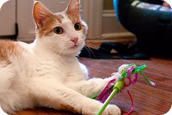 Domestic Shorthair Cat for adoption in Knoxville, Tennessee - Leo