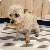 Cairn Terrier Mix Dog for adoption in Denver, Colorado - Babs FOSTER HOME