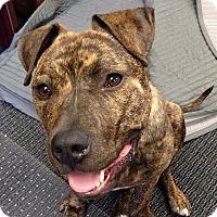 Adopt A Pet :: Merit - Bruce Township, MI