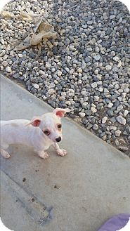 Chihuahua Puppy for adoption in temecula, California - dingo