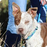 Pit Bull Terrier/Australian Cattle Dog Mix Dog for adoption in Lander, Wyoming - Topher