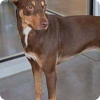 Doberman Pinscher Mix Dog for adoption in Westminster, Colorado - Dawn