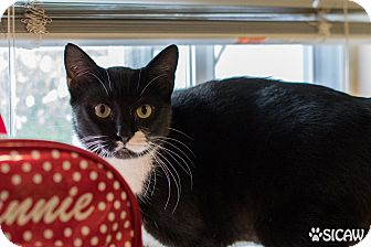 Domestic Shorthair Cat for adoption in Staten Island, New York - Lucy