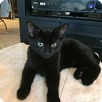 Adopt A Pet :: Onyx - Fort Pierce, FL