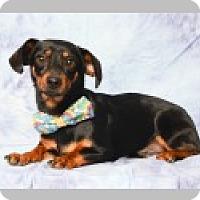 Adopt A Pet :: Louie - Pittsboro, NC