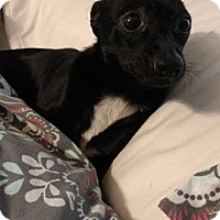 Adopt A Pet :: Squirt - North Brunswick, NJ