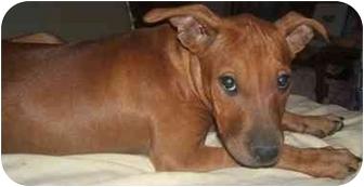 American Pit Bull Terrier Mix Dog for adoption in Mesa, Arizona - Minnie