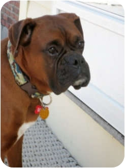 Boxer Dog for adoption in Grafton, Massachusetts - Max