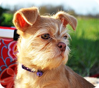 Brussels Griffon/Border Terrier Mix Puppy for adoption in Westport, Connecticut - *Dot - PENDING