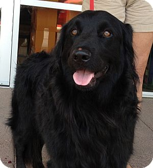 Golden Retriever/Newfoundland Mix Dog for adoption in Phoenix, Arizona - Fitz
