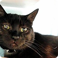 Domestic Shorthair Cat for adoption in Huntington, New York - Mork
