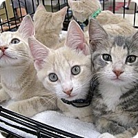 Adopt A Pet :: Buffett - Vero Beach, FL