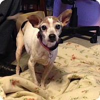 Rat Terrier Dog for adoption in Texarkana, Texas - Precious