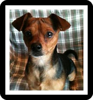 Chihuahua Mix Dog for adoption in Winchester, California - SKIP