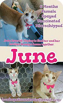 Domestic Shorthair Cat for adoption in Madera, California - June
