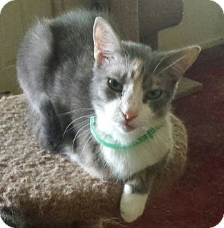Domestic Shorthair Cat for adoption in Gaffney, South Carolina - Addie- only3 legs-