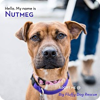 Adopt A Pet :: Nutmeg - Enfield, CT
