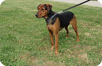 Coonhound Mix Dog for adoption in Cameron, Missouri - RILEY