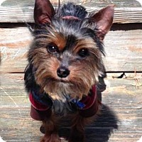 Adopt A Pet :: Bronx Bear - Sinking Spring, PA